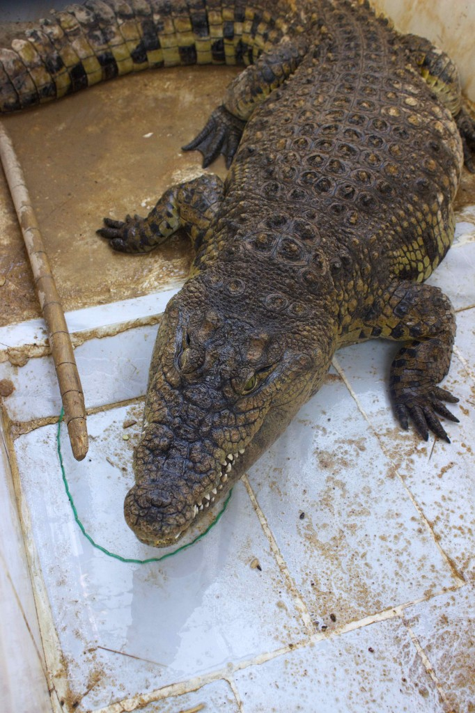 The nubian family's Nile crocodile.